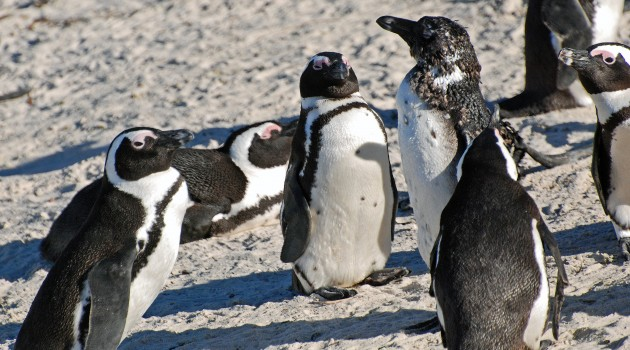 Penguins once thrived in Africa; one endangered species lives there today