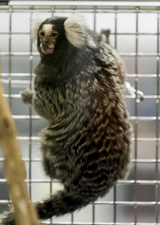 Obese marmoset