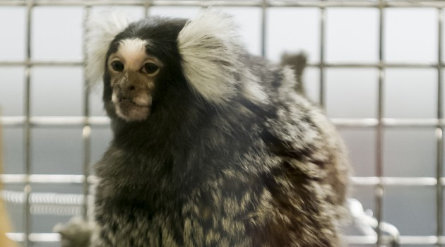 Obese marmosets are more developmentally advanced as infants, study shows