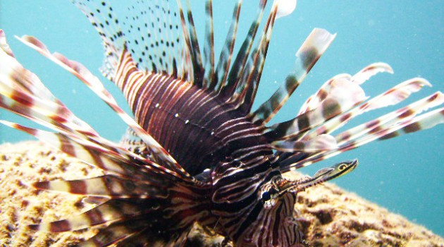 Biologist Andrew Sellers turns lionfish invasion into research opportunity