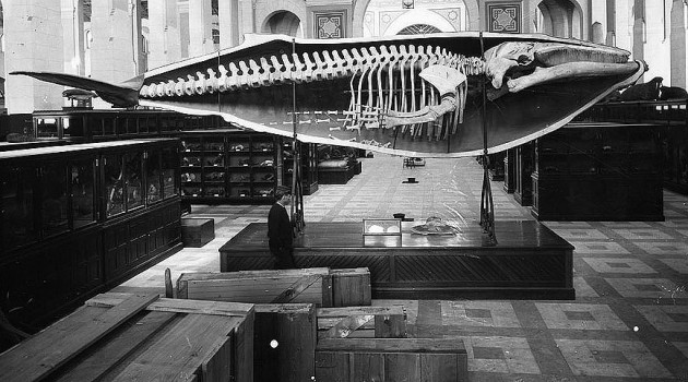 Joseph Palmer's half-cast and skeleton of a humpback whale, shortly after it was installed in the National Museum (now the Arts and Industries building), 1885. Image from Smithsonian Institution Archives