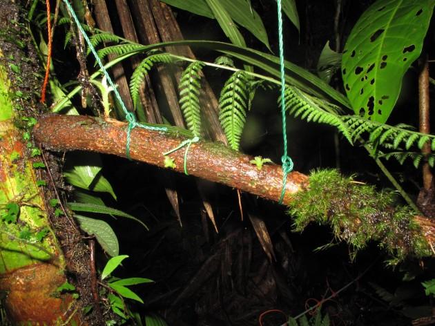 Leucoloma cruegerianum