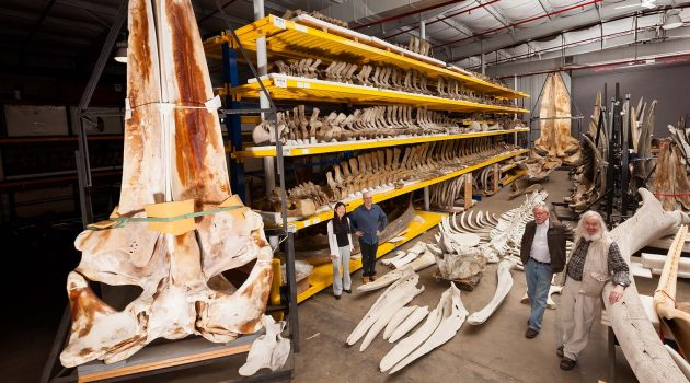 Gray whale specimen an important addition to Natural History Museum collections