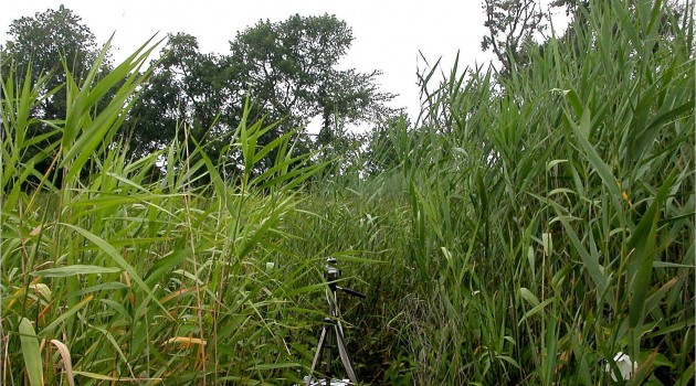 Climate change conundrum: Invasive reed makes much more methane
