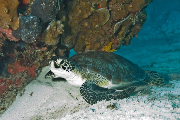 A green sea turtle in Biscayne National Park. (Photo courtesy National Park Service South Florida / Caribbean Network)