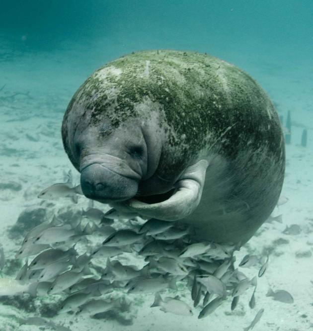 Florida manatee (Photo by Keith Ramos, U.S. Fish and Wildlife Service)