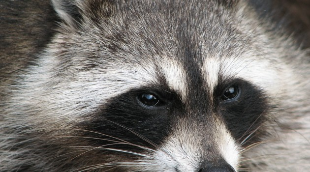 Suburban raccoons more social yet dominance behavior remains that of a solitary animal