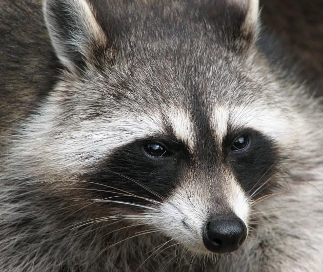 Raccoon_(Procyon_lotor)_2
