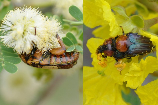Left, the beetle Pedinorrhina trivittata on flowers of Acacia grnadicornuta showing pollen grains on both the top and bottom of the insect. Right, mating beetles of the species Leucocelis vitticollis on flowers of Peltophorum africanum showing pollen grains on both male and femals. (Photo courtesy Jonathan Mawdsley)