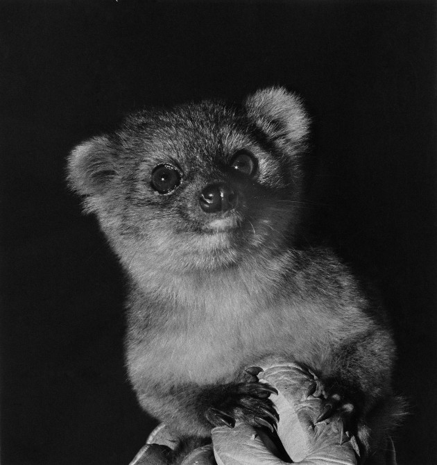 "The olinguito (""Bassaricyon neblina"") came close to being discovered several times during the past century and was even exhibited in zoos. For example, this female olinguito lived in various zoos in the U.S. decades ago. The problem was a case of mistaken identity, which was solved with a decade of detective work by Smithsonian scientist Kristofer Helgen and his team, resulting in the description of a new species. (Photo by I. Poglayen-Neuwall)"