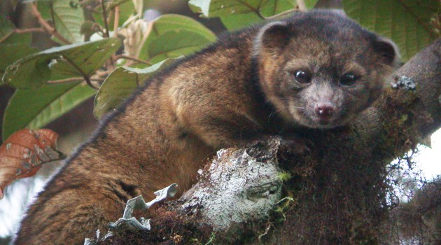 Smithsonian scientists discover new carnivore: the olinguito