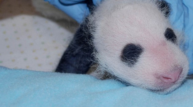 Panda cub receives first exam