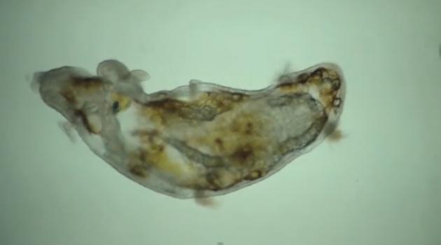 Naked sea angel! (Pteropod larva)