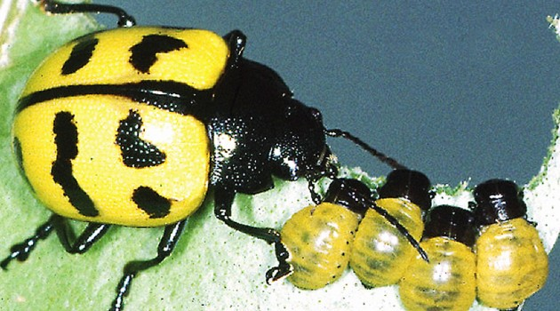 Beetle moms show clear signs of maternal instincts and care