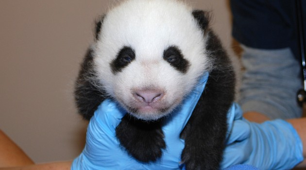 National Zoo's giant panda cub @ 8 weeks old