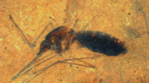 This image is a microscope photograph of a piece of shale from the Kishenehn Formation in northwestern Montana containing the fossil of a blood-engorged mosquito. Scientists from the Smithsonian and the Natural History Museum in London have discovered biomolecules from the blood in the mosquito's abdomen that have been preserved for 46 million years. (Photo by Tim Rose)