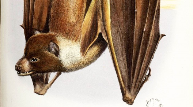 Scientists shine light on world's least-studied bat: Mortlock Islands flying fox