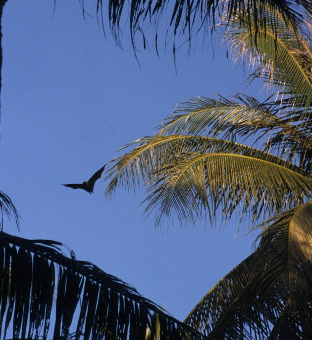 This photo shows a Mortlock Islands flying fox in flight on Oneop Island (Photo by Danko Taborosi)