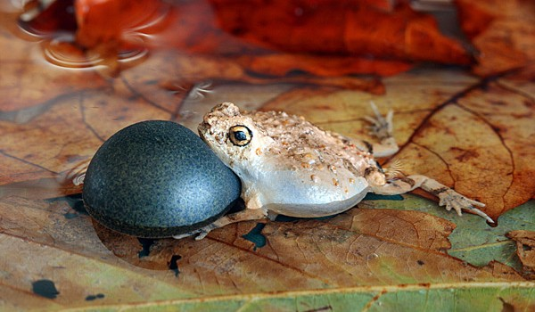 Robofrog fools female tungara frog