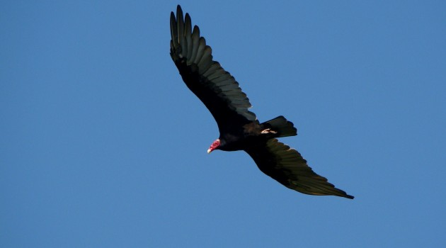 Not only does the turkey vulture have a highly developed sense of smell but a new study shows it has very good eyesight as well. (Photo by Cláudio Dias Timm/Flickr EOL images)