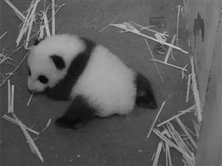 Giant Panda Cub's First Steps!
