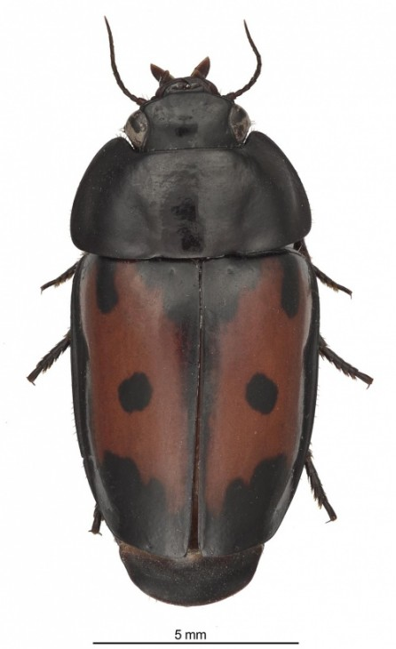 The Spectacular Guyane False-form beetle, or Guyanemorpha spectabilis, from Guyane (French Guiana)
