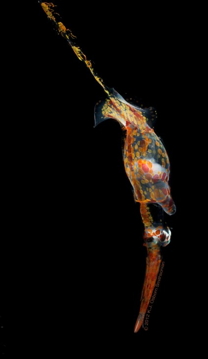 A juvenile squid, Planctoteuthis oligobessa. This individual, which is about 5 inches long, changed instantly from nearly transparent to this red/orange when startled by the camera flash. (Photo by Karen Osborn)
