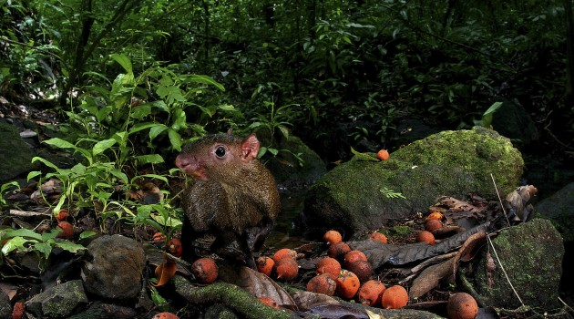 Rain forest rodents risk their lives to eat