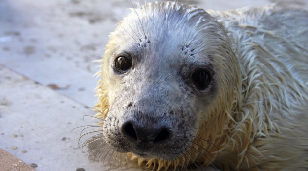 Gray seal pup born