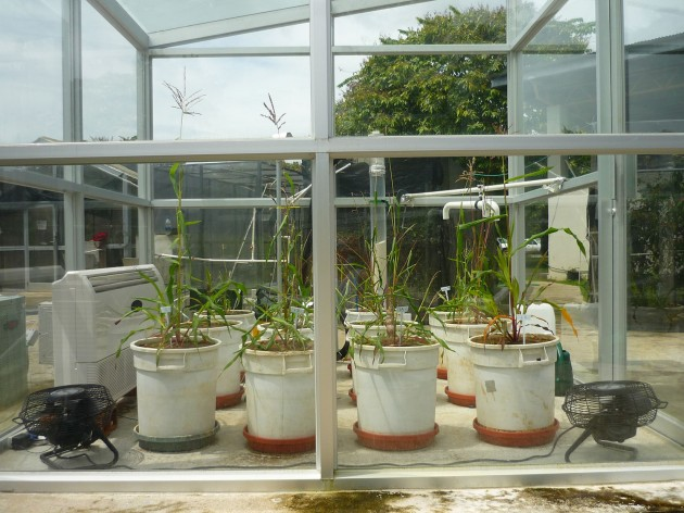 A view of teosinte in a growth chamber—late glacial conditions. (Photo by Irene Holst, STRI)