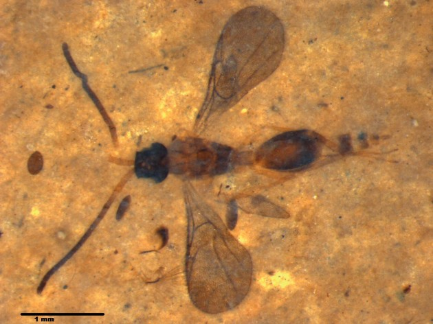 An exceptionally preserved wasp from the family Diapriidae found along Montana's Flathead River.