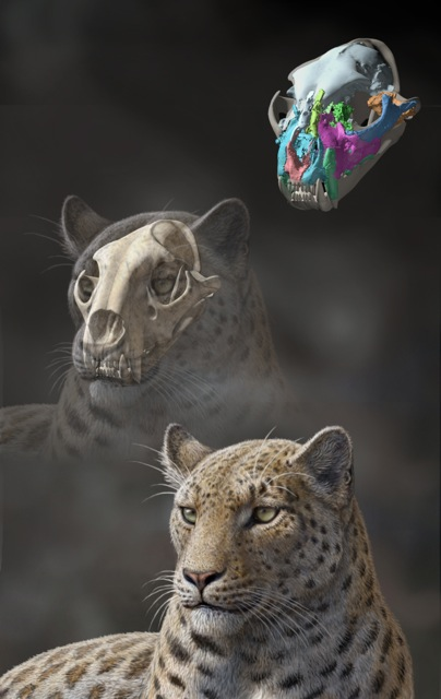 A life reconstruction of the skull of P. blytheae, the oldest known pantherine cat. Scientists believe this ancient species of big cat is most closely related to the modern day snow leopard (Artwork by Mauricio Antón)