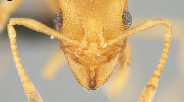 Detailed photos of the newly discovered Cyatta abscondita fungus-farming ant species, taken in the National Museum of Natural History's Ant Lab, help Smithsonian scientists identify unique physical traits of these tiny insects. The new species is a 'living fossil' that can help scientists reveal the way in which the first fungus-growing ants may have lived. (Photo by Jeffrey Sosa-Calvo)