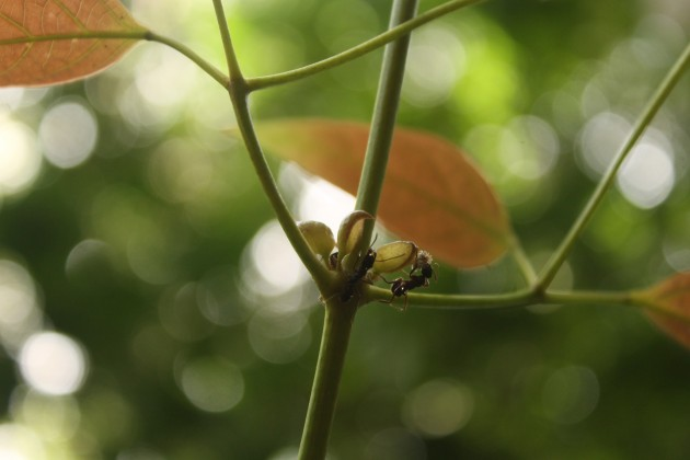 "Ants of the species ""Ectatomma ruidum"" a tree on Barro Colorado Island in the Panama Canal. (Photo by Selina A. Ruzi)"