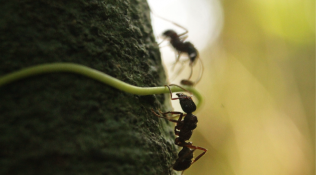 "Ants of the species ""Ectatomma ruidum"" on a tree on Barro Colorado Island in the Panama Canal. (Photo by Selina A. Ruzi)"