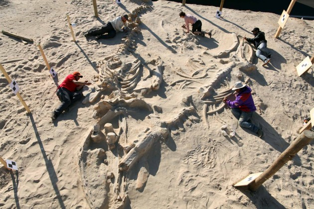 Cerro Ballena. Chilean and Smithsonian paleontologists study several fossil whale skeletons at Cerro Ballena, next to the Pan-American Highway in the Atacama Region of Chile, 2011. (Photo by Adam Metallo)
