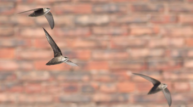 Chimney swifts in flight. Swifts often fly together in small groups high overhead, loudly twittering their hi-pitched calls. (Photo by Mike Veltri)