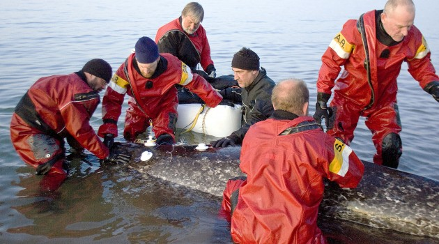 With electrodes attached to the back of a narwhal wearing a tusk jacket, a research team monitors the animal's heart rate at Kakiak Point, Arctic Bay, Baffin Island, Canada. Martin Nweeia is at center in black. (Photo by Gretchen Freund)