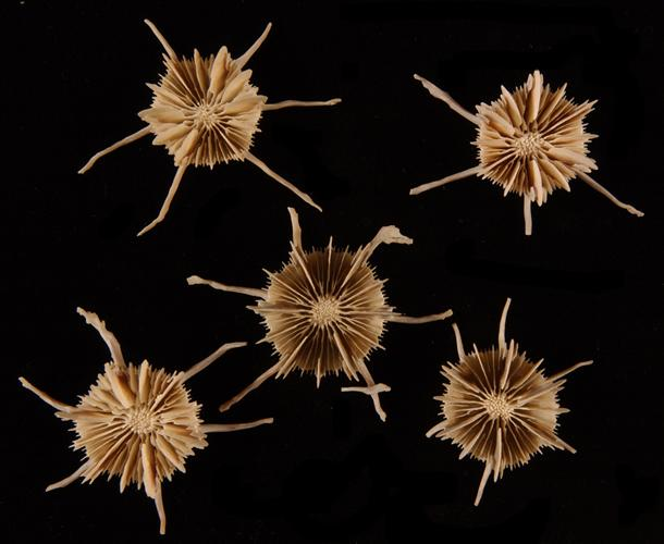 """Stephanocyathus (A.) spiniger,"" a solitary, deep-water stony coral species, has six long spines that slow it from sinking into soft substrates. (Smithsonian Institution photo)"