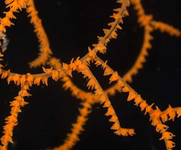 Polyps of the deep-water coral Leiopathes sp. (black coral) from offshore Georgia. (Photo courtesy Marine Resources Research Institute)
