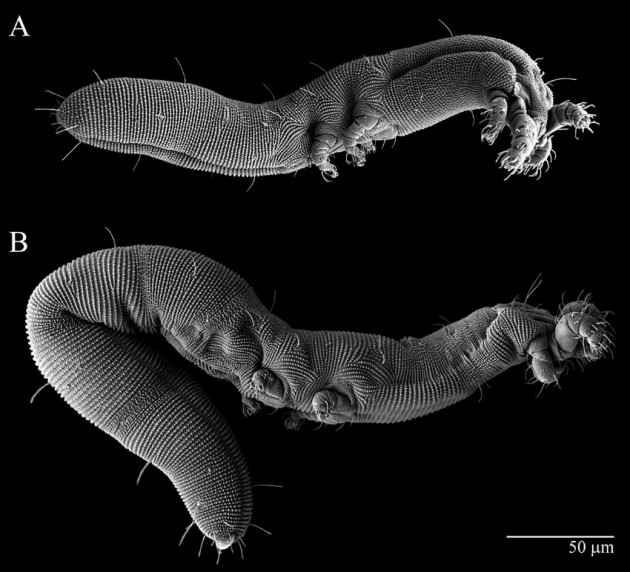 """""""Osperalycus tenerphagus,"""" a new mite discovered in Ohio. (Image courtesy Samuel Bolton)"""