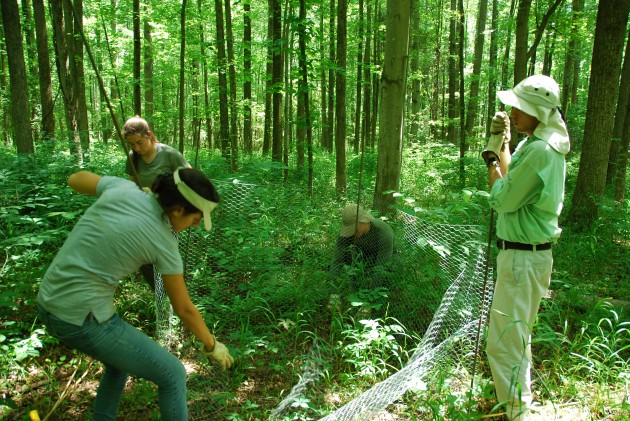 SERC intern Marina LaForgia (front left) helps set up an exclusion cage to keep deer away from an experimental forest plot. (SERC photo)
