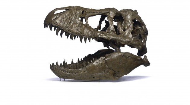 "Tyrannosaurus rex Osborn (Cast) Known as the ""Wankel T. rex,"" the rare fossil was found in 1988 by Kathy Wankel, a rancher from Angela, Mont., on federal land near the Fort Peck Reservoir in eastern Montana."