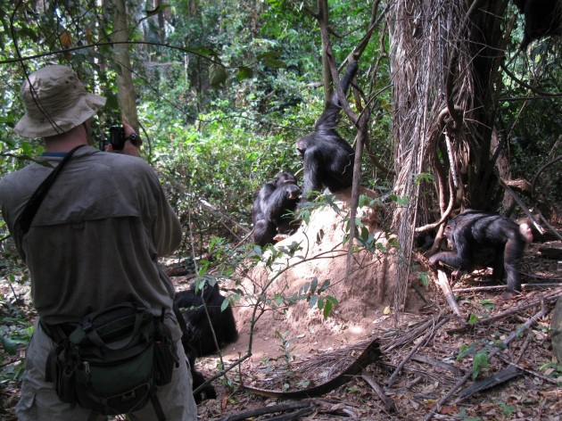 "Robert O'Malley videotapes a chimpanzee troop in Gombe National Park, Tanzania, ""fishing"" for termites on a termite mound. (Photo courtesy Robert O'Malley)"