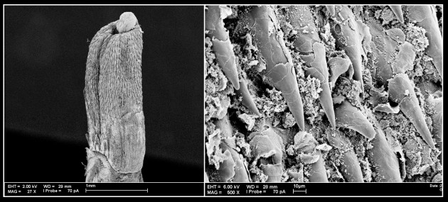 These two scanning electron microscope images show, at left, an entire bat penis, and at right, bat penis spines in close-up. (Images courtesy Ligiane Moras)