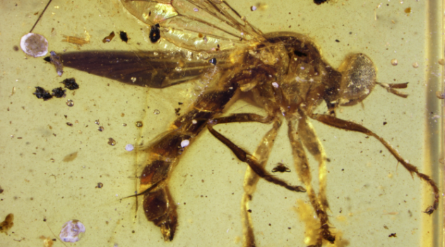 Ancient species of assassin fly discovered by Smithsonian scientist