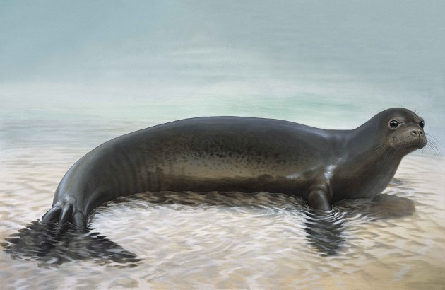 This illustration of the extinct Caribbean Monk seal was done by artist Peter Schouten.