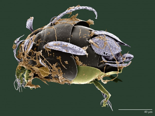 "This mite, recently discovered in a coca plantation in Brazil, was named ""Excelsotarsonemus tupi"" in honor of the Tupi people of Brazil, an indigenous tribe that once inhabited most of Brazil's coastline. Feather-like setae on its body allow it to ride breezes from tree to tree in the forest canopy. It grows brown fungi on its body for food. (Photo courtesy Chris Pooley / Electron & Confocal Microscopy Unit USDA-ARS)"