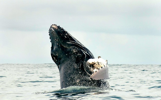 "Humpback whale, ""Megaptera novaeangliae"" (Photo by Betzi Perez, Smithsonian Tropical Research Institute)"
