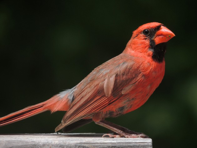 Northern cardinal. Most of the bright feathers that we see flying around us, like the red feathers of a cardinal, are colored with a mixture of carotenoid pigments. Birds extract carotenoids from food and deposit them directly into their feathers, like the pink astaxanthin from brine shrimp that flamingos use to make their feathers pink.